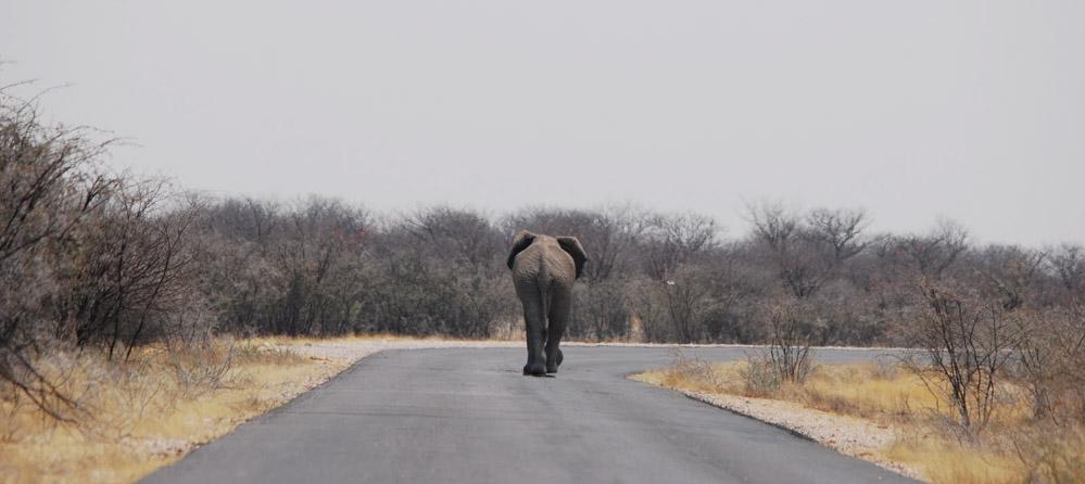 Olifant in Etosha NP Namibie